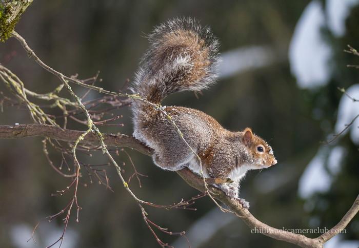 Louise Pollock - Squirrel