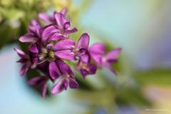 Tracy Friesen - Alfalfa Flowers